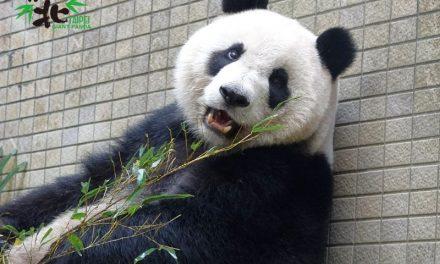 動物園傳喜訊 大貓熊圓仔升格當姊姊