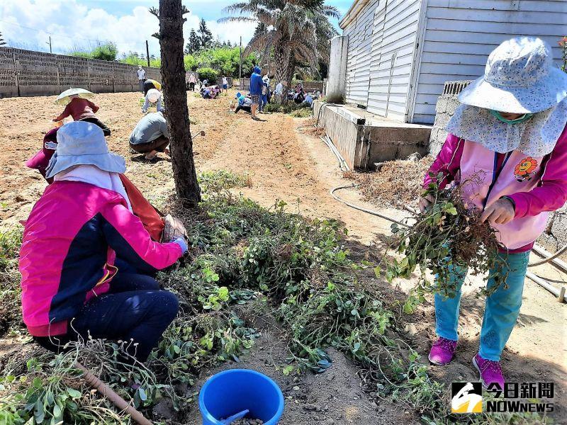 一日農夫掘土豆 澎西嶼白膜花生親子體驗活動