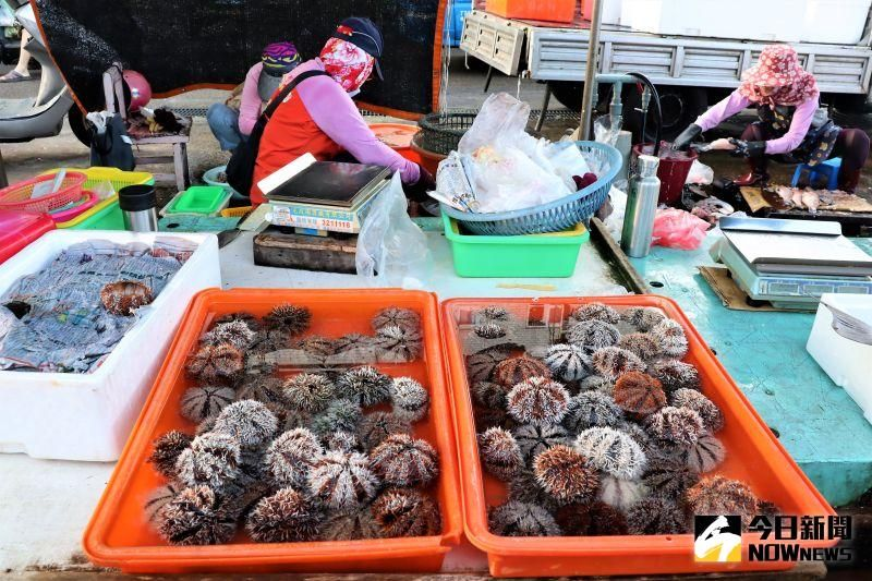 馬糞海膽開採日 漁民低調賣 澎魚市場一顆50元